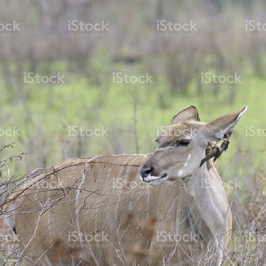 Kudu And Red-billed Oxpecker stock photo