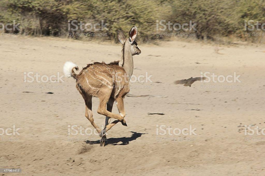 Kudu Antelop run - Wildlife from Africa royalty-free stock photo