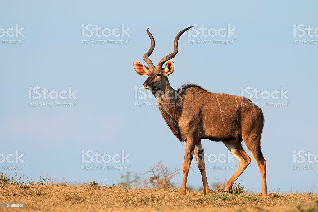 Kudu antelope stock photo