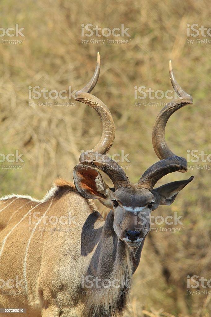 Kudu Bull - African Wildlife Background - Trophy Horn Spiral stock photo