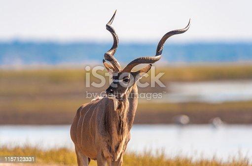 Kudu (Tragelaphus strepsiceros) in Chobe National Park
