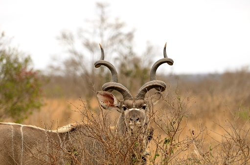Large antelope found in eastern and southern Africa.