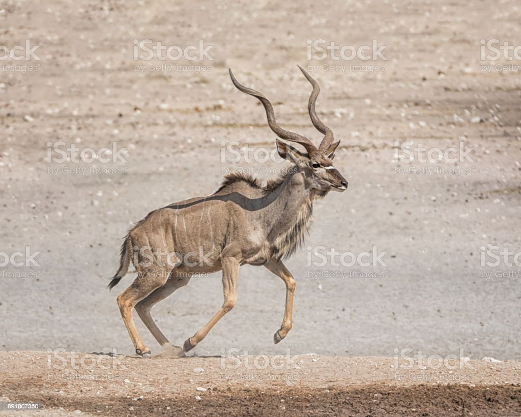 Kudu Bull stock photo
