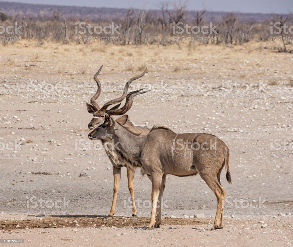Kudu Bulls stock photo