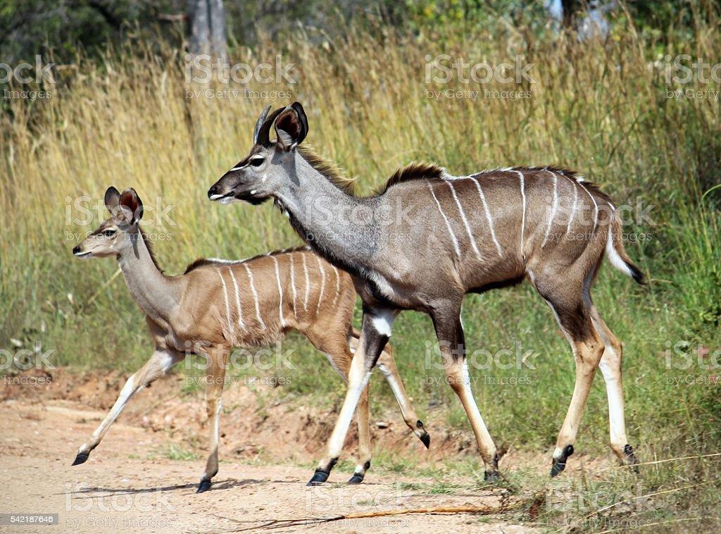 Kudu Calfs stock photo