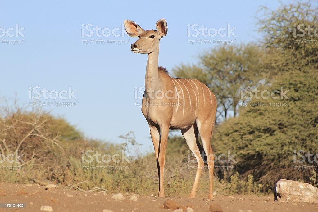 Kudu Cow Stare of Grace and Elegance from Africa royalty-free stock photo