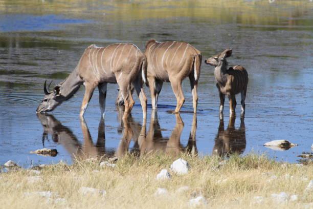 Kudu drinking stock photo