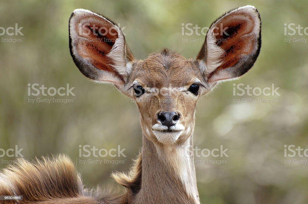 Kudu Female Close Up stock photo