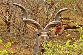 Male Kudu staring through and eating from a bush at Kruger National Park in South Africa.
