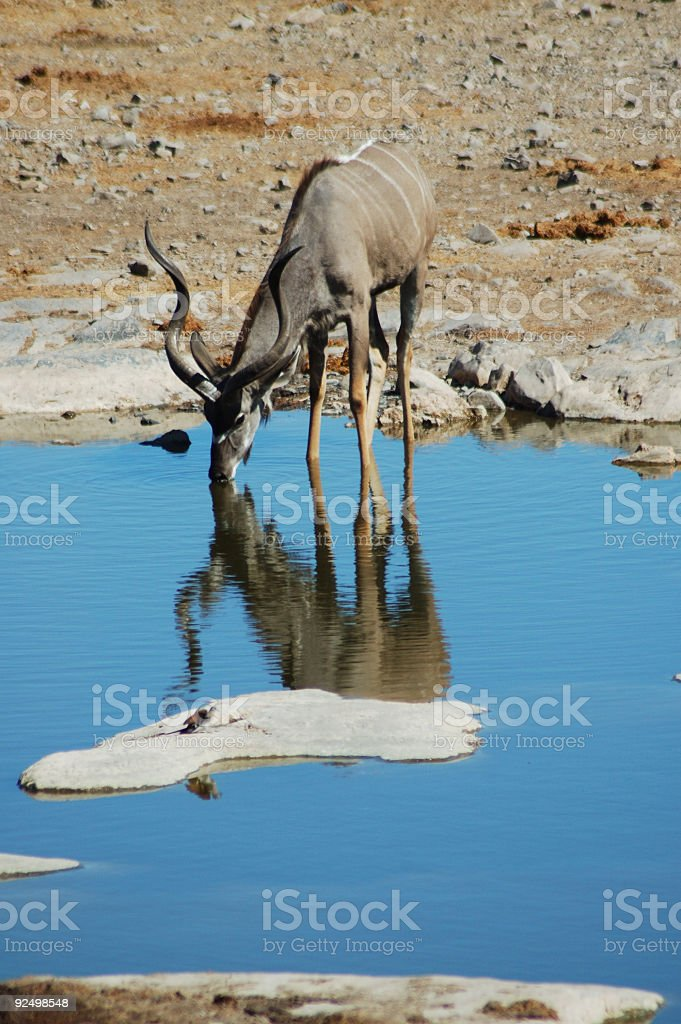 kudu in Etosha #2 royalty-free stock photo