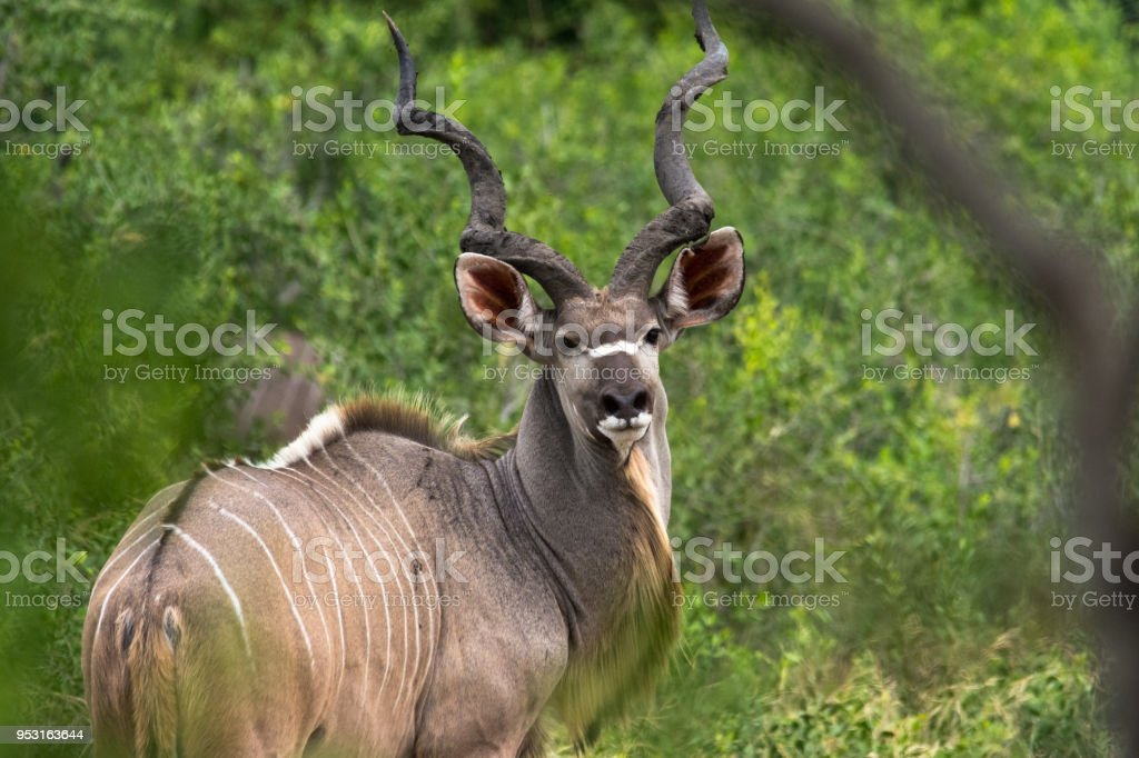 Kudu in the Bushes - Kruger National Park stock photo