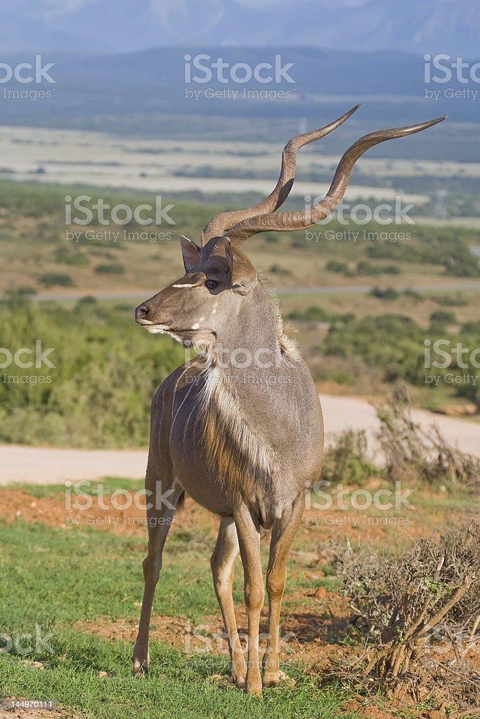 Kudu King royalty-free stock photo