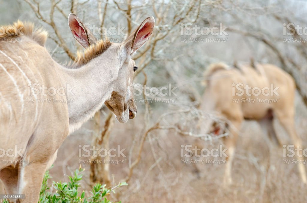 Kudu olhando para longe - Foto de stock de Animal royalty-free