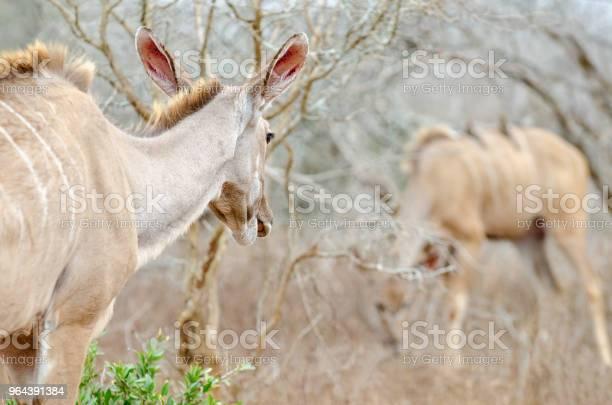 Foto de Kudu Olhando Para Longe e mais fotos de stock de Animal