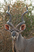 Kudu Antelope seen on a safari in South Africa