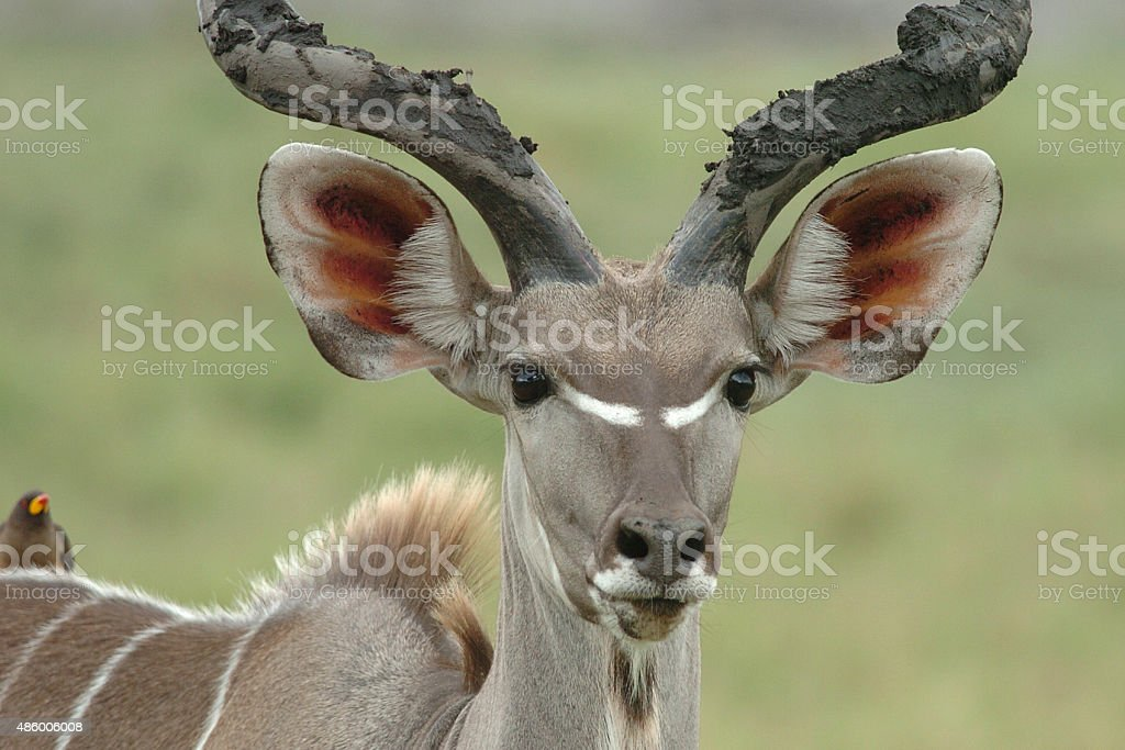 Kudu male stock photo