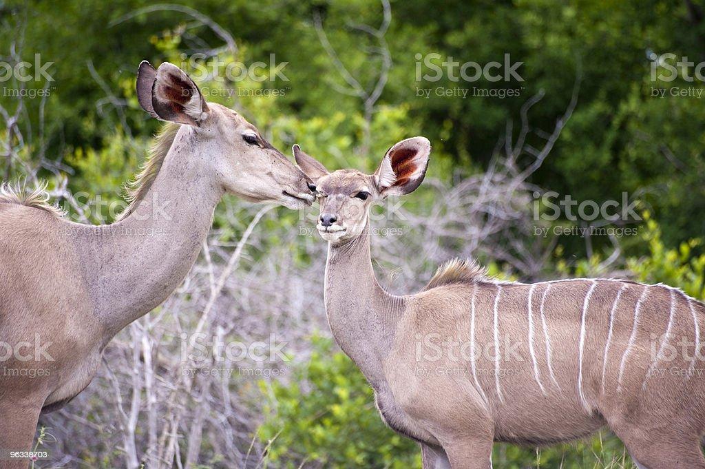 Kudu mama z jej Młode - Zbiór zdjęć royalty-free (Afryka)