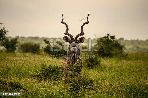 Imposing kudu bull standing staring intently