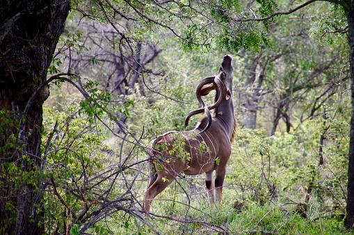 Kudu stretching for food