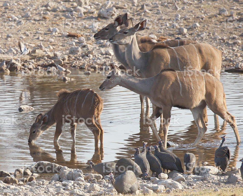 Kudu royalty-free stock photo