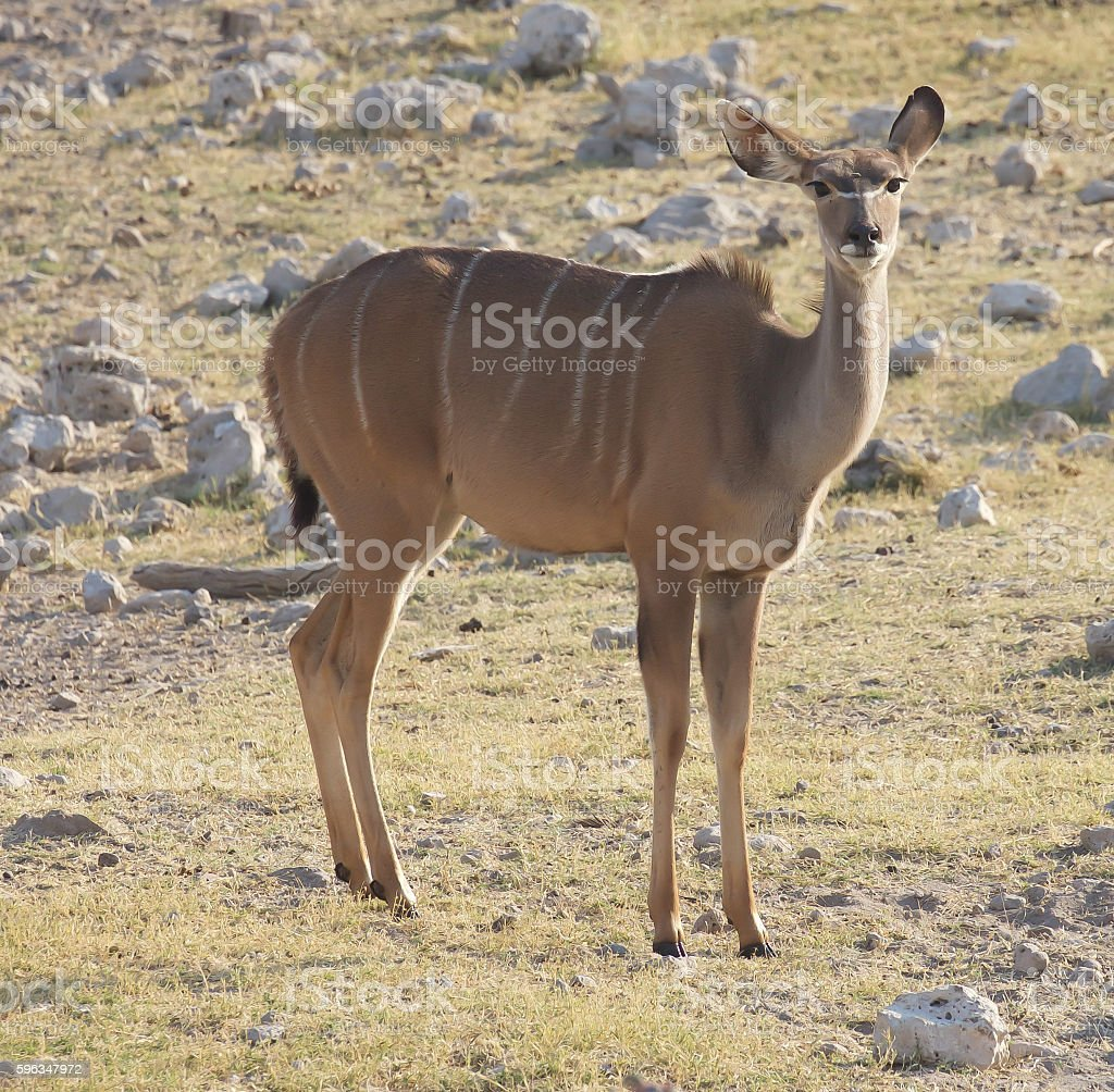 Kudu royalty-free stock photo