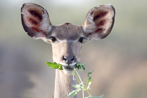 A beautiful female Kudu antelope having breakfest. Image was taken at Kruger Nationalpark, South Africa.