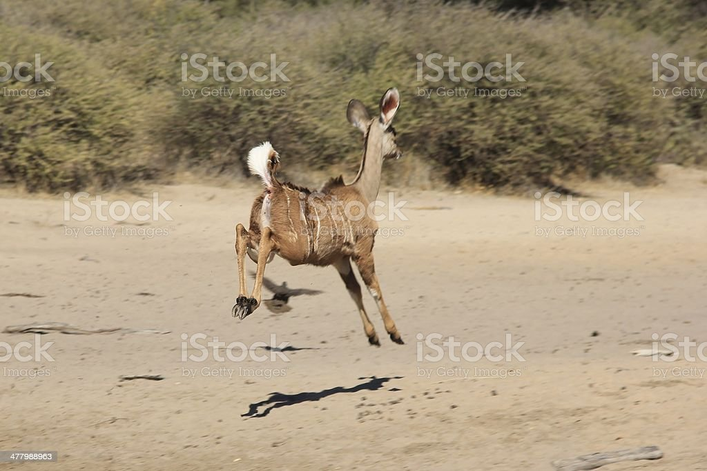 Kudu run and jump - Wildlife background from Africa royalty-free stock photo