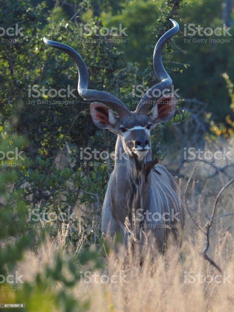 Kudu walking through tall grass stock photo