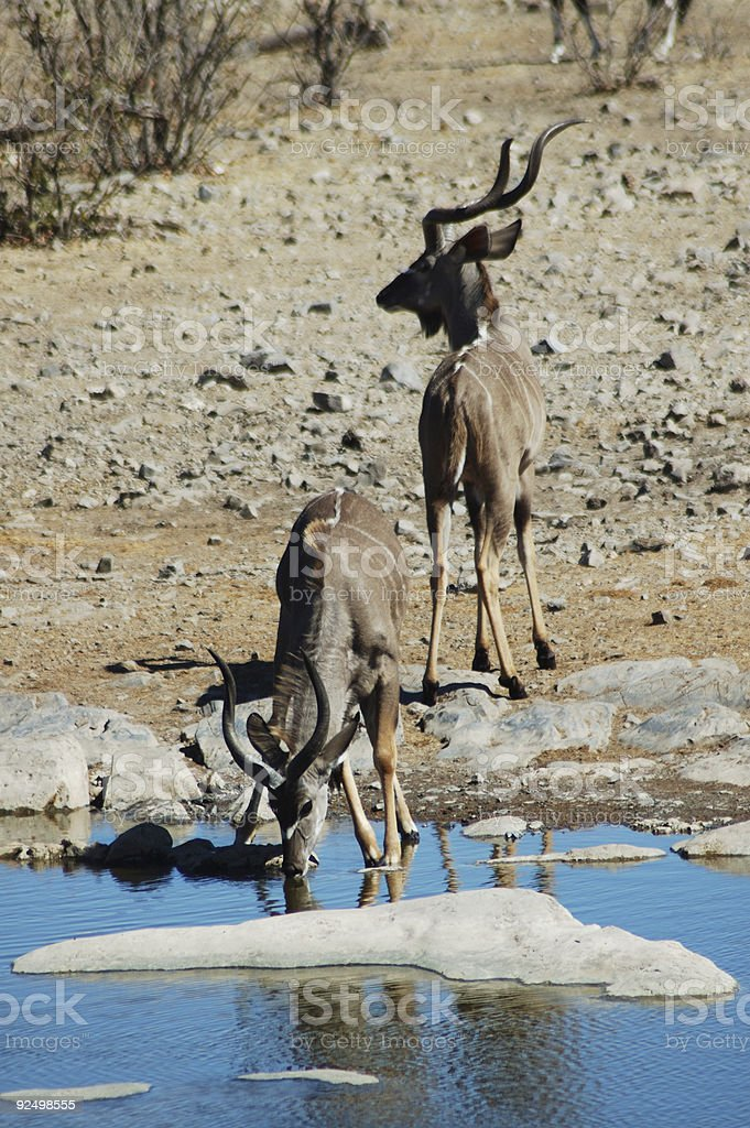 kudus in Etosha #3 royalty-free stock photo