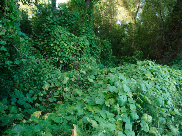 kudzu - introduced species stock pictures, royalty-free photos & images