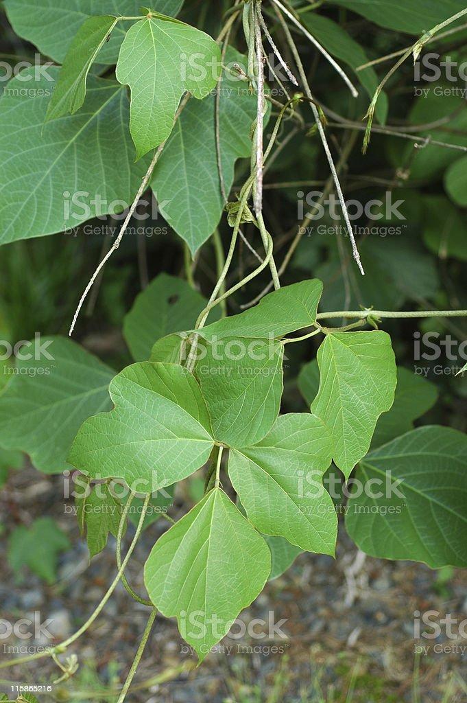 kudzu, Pueraria lobata, leaves royalty-free stock photo
