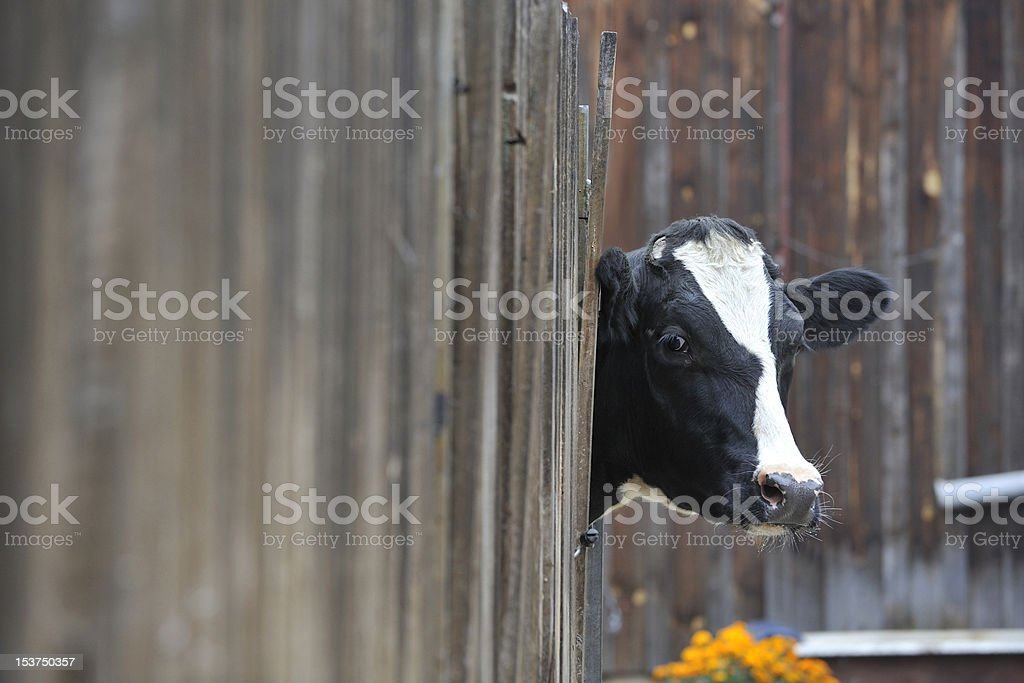 Kuh schaut durch den Zaun stock photo