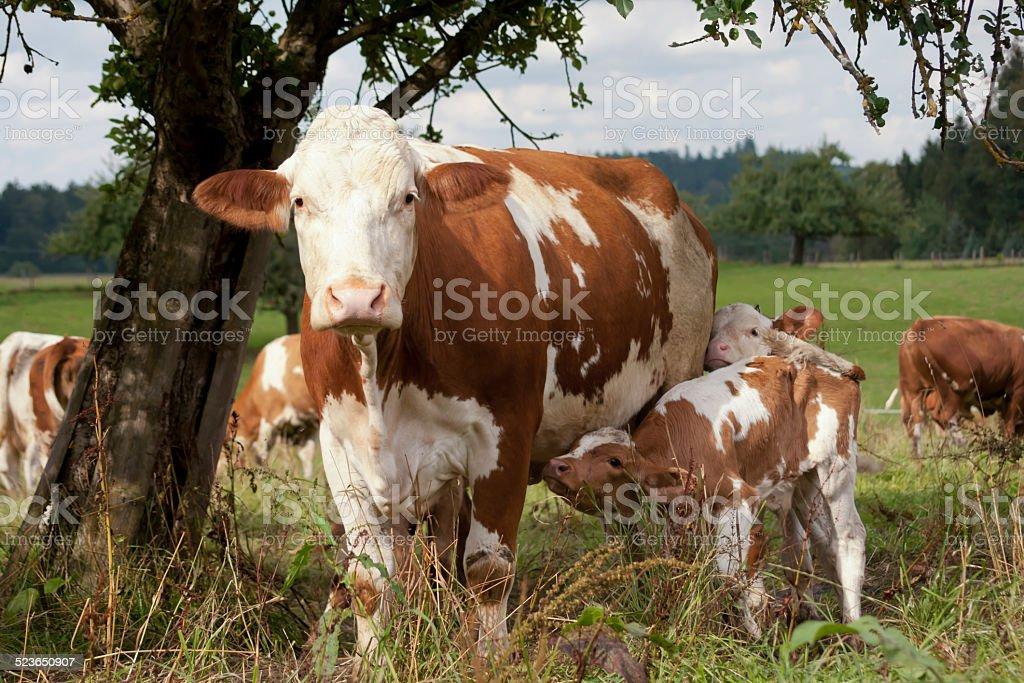 Kuh und Kalb auf der Wiese stock photo