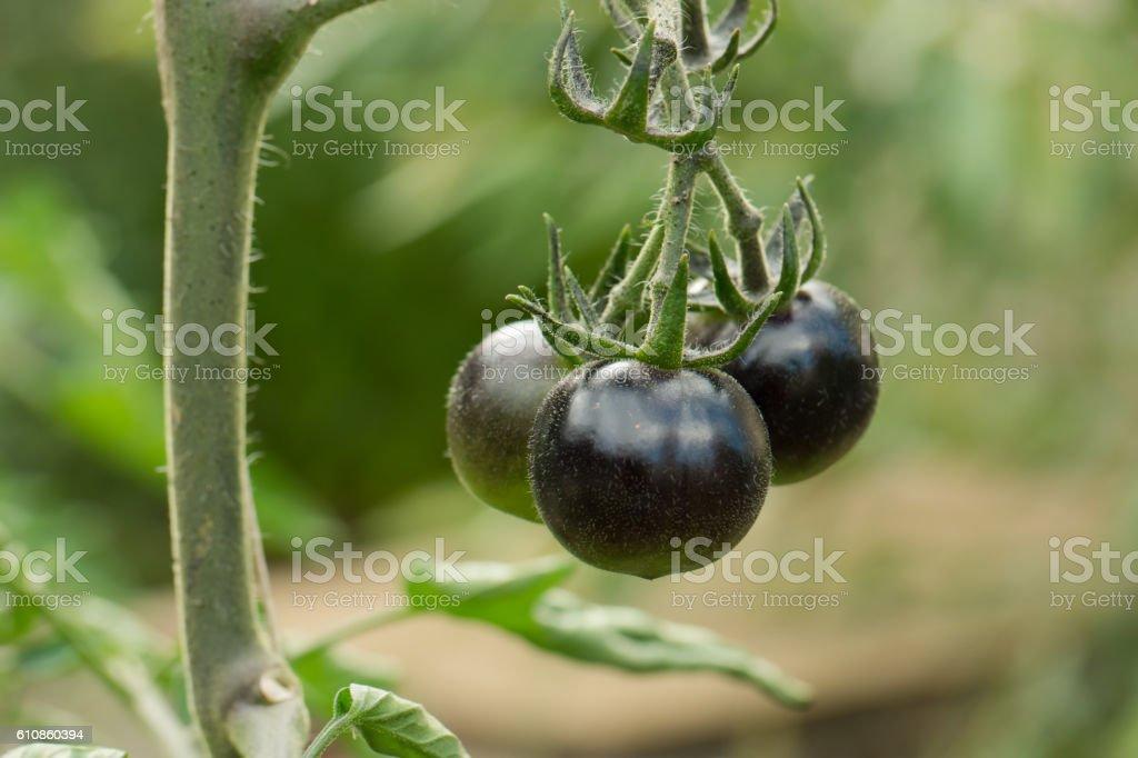 Kumato: black tomatoes growing on tomato plant stock photo