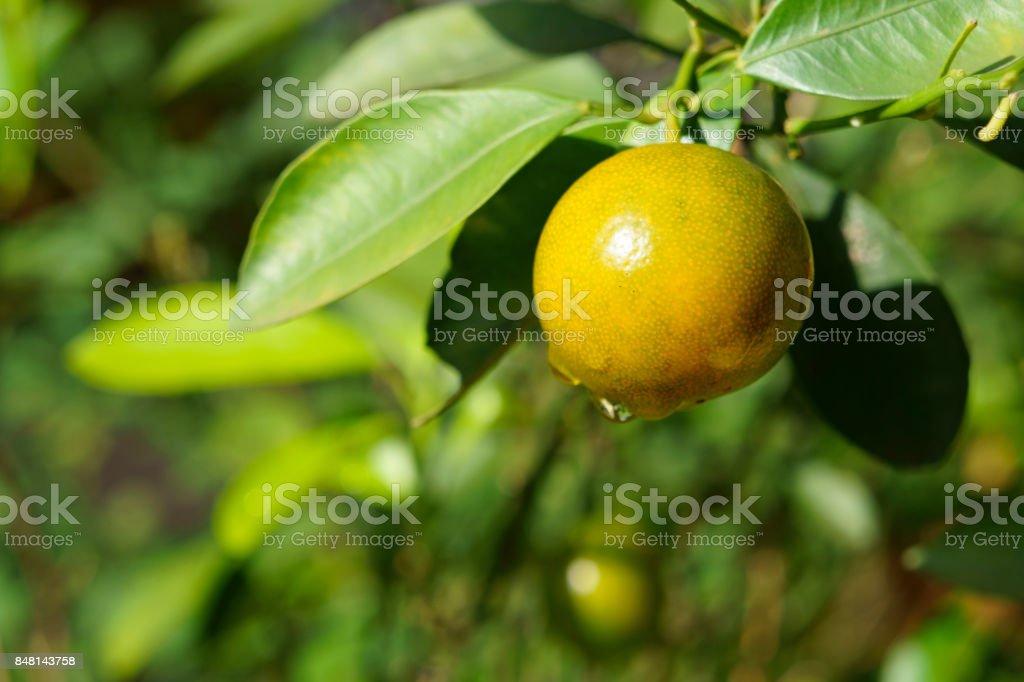 Fruta del kumquat y la lluvia cae - foto de stock