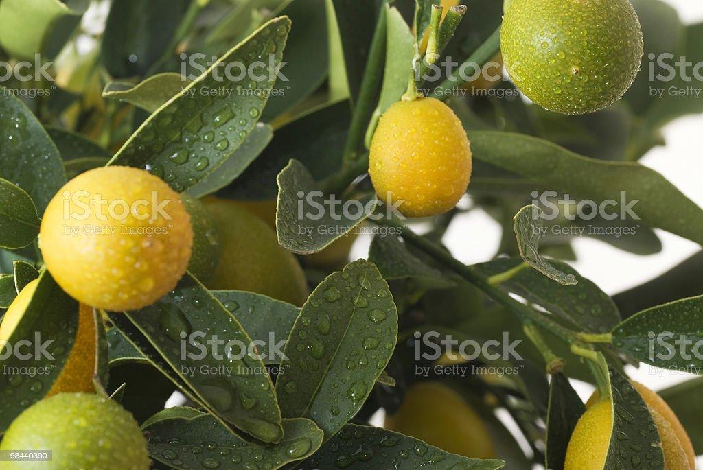 kumquat auf kumquattree Lizenzfreies stock-foto