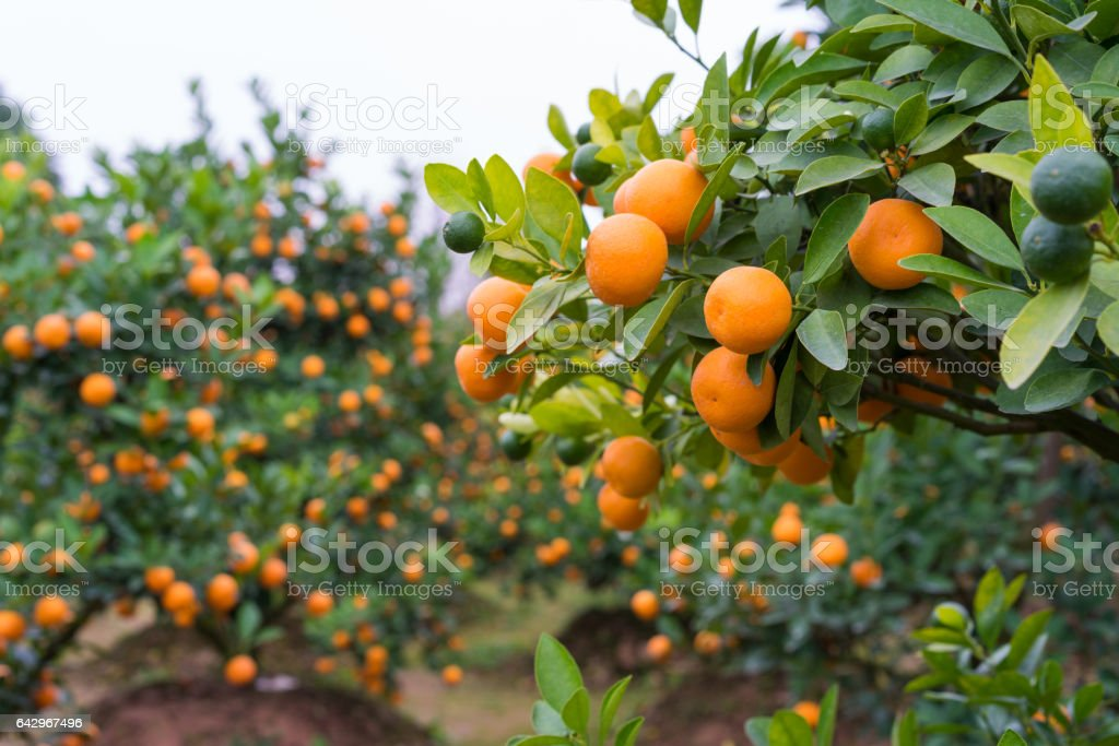 Kumquat, the symbol of Vietnamese lunar new year. In nearly every household, crucial purchases for Tet include the peach 'hoa dao' and kumquat plants stock photo