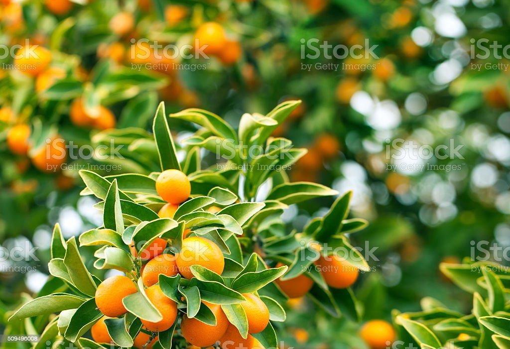Kumquat tree branch stock photo