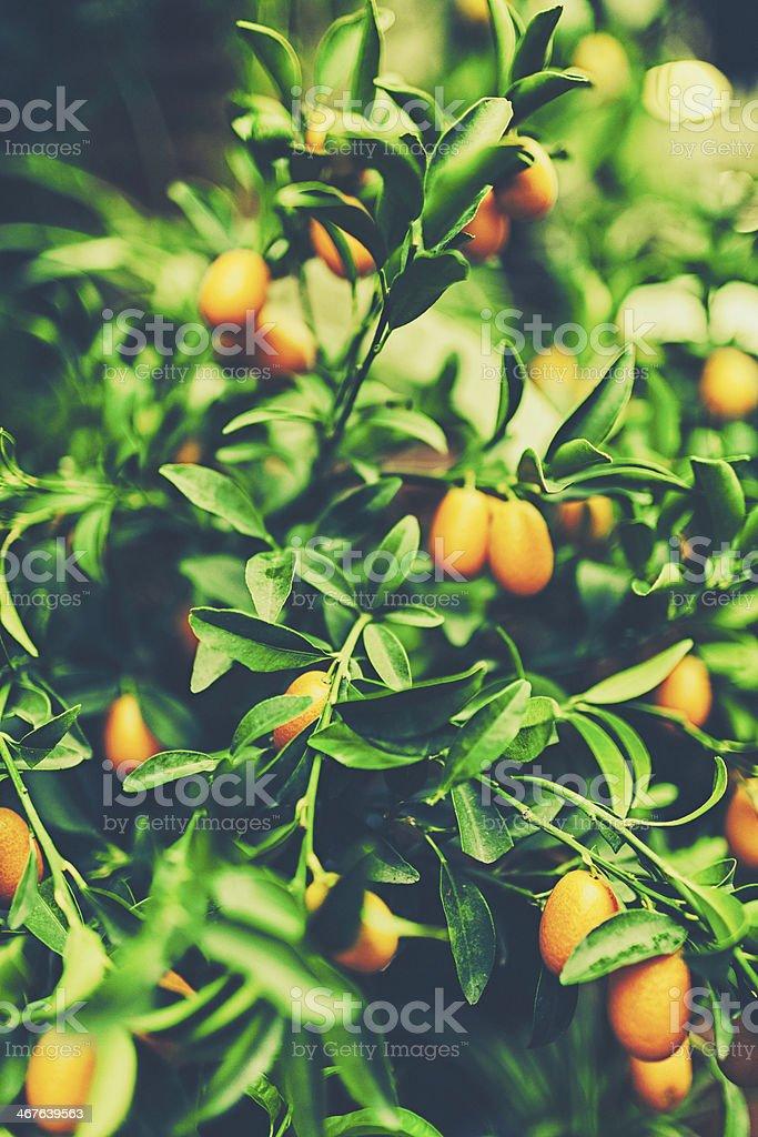 Kumquat Tree stock photo