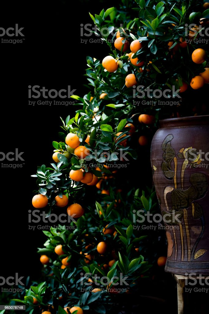 Kumquat tree put on the vase stock photo