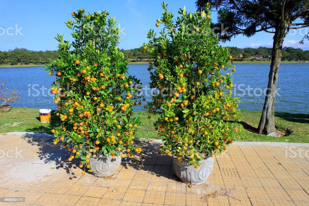 Kumquat tree selling in market stock photo