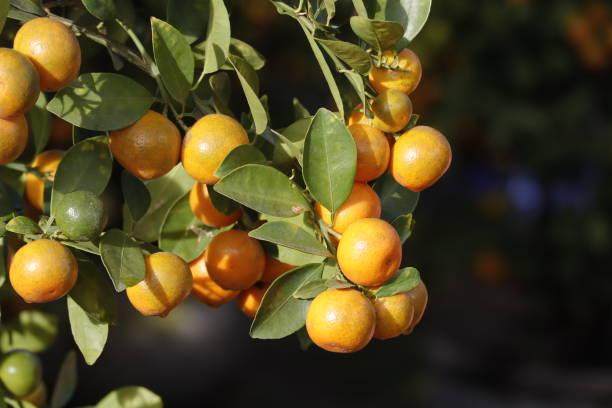 Kumquat Baum. Zusammen mit Pfirsichblütenbaum, Kumquat ist einer von 2 must have Bäume in vietnamesischen Lunar Neujahr Urlaub im Norden. – Foto