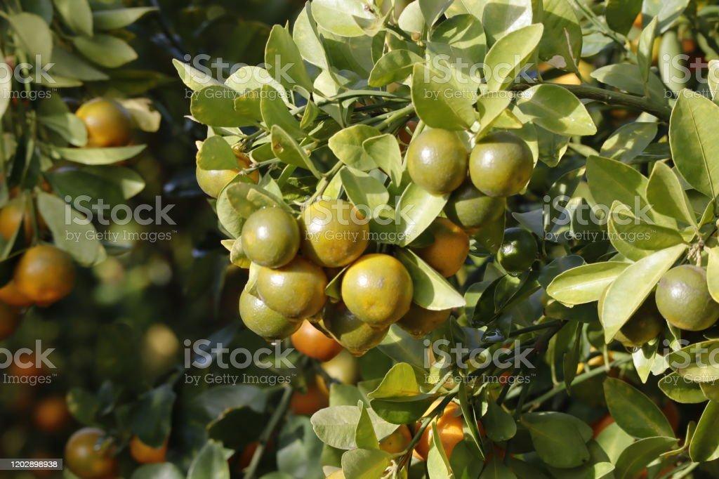 Kumquat Baum. Zusammen mit Pfirsichblütenbaum, Kumquat ist einer von 2 must have Bäume in vietnamesischen Lunar Neujahr Urlaub im Norden. - Lizenzfrei Ast - Pflanzenbestandteil Stock-Foto