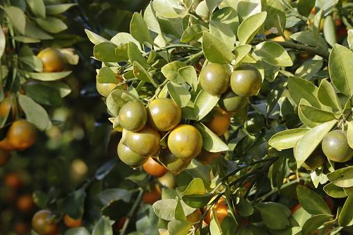 Kumquat Baum Zusammen Mit Pfirsichblütenbaum Kumquat Ist Einer Von 2 Must Have Bäume In Vietnamesischen Lunar Neujahr Urlaub Im Norden Stockfoto und mehr Bilder von Ast - Pflanzenbestandteil