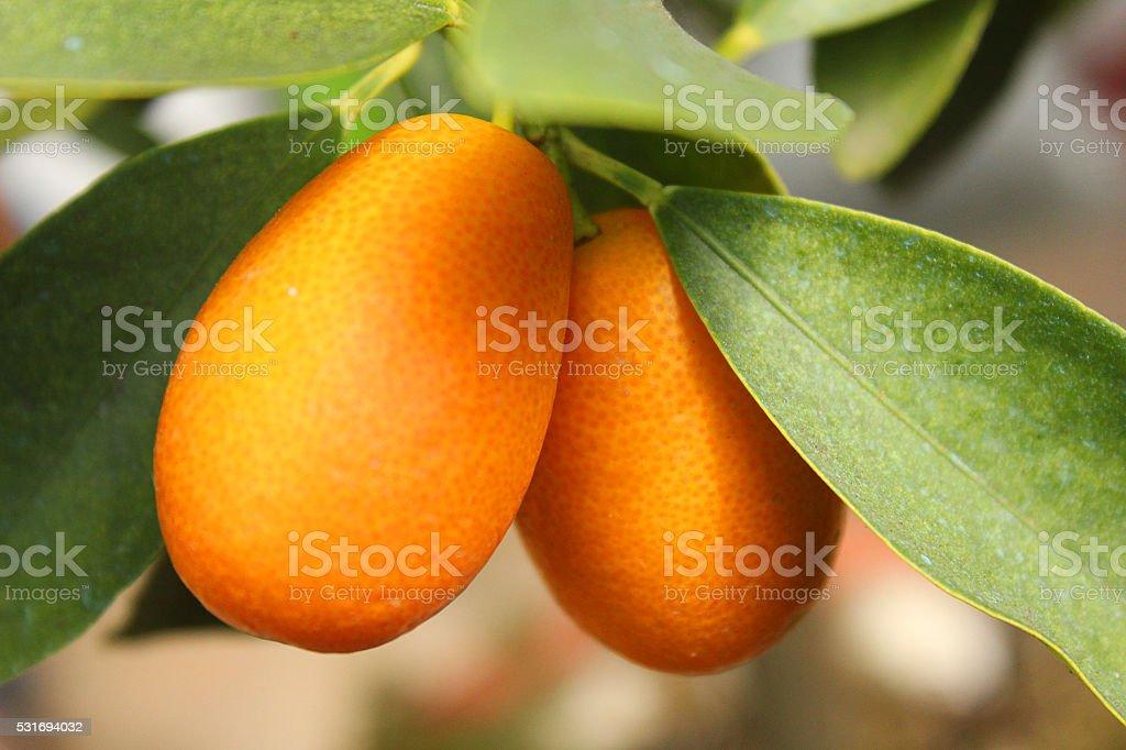 kumquats on the tree stock photo