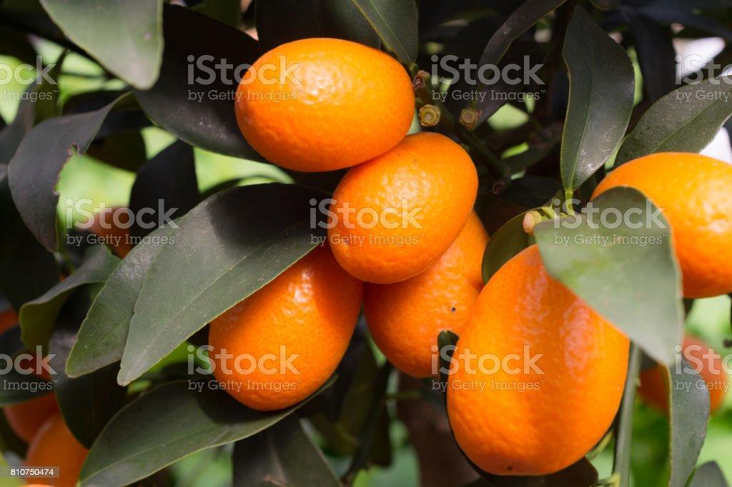 Kumquats small citrus fruit stock photo