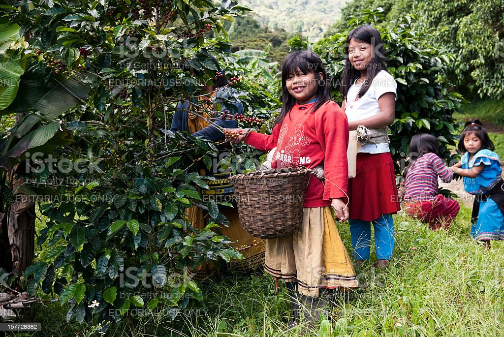 Children harvesting coffee in Central America stock photo