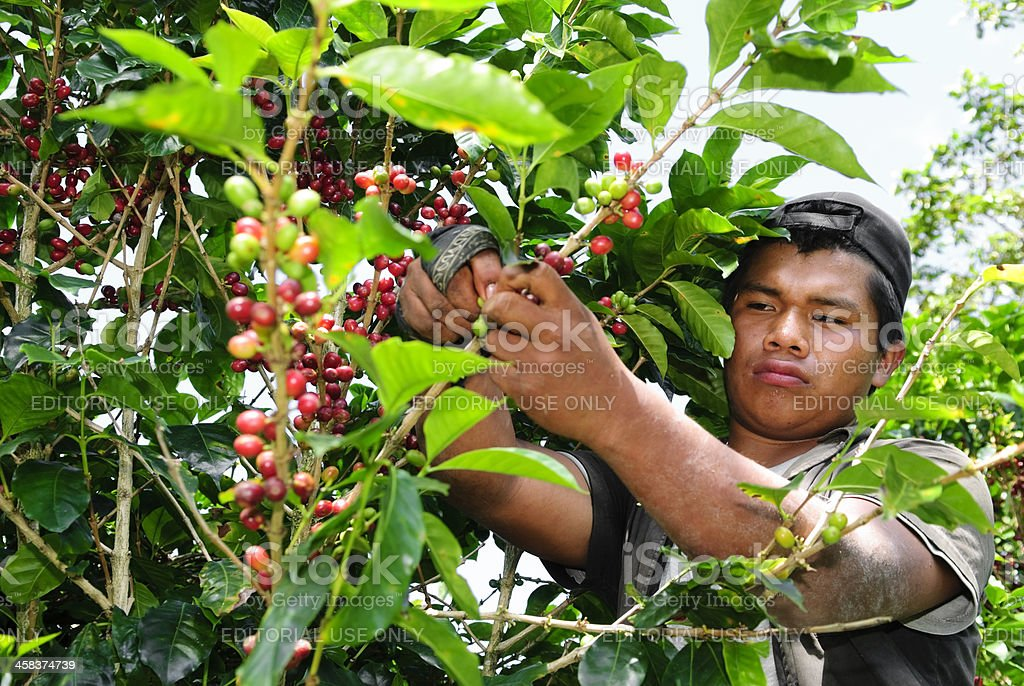 Kuna Indian harvesting coffee in Panama royalty-free stock photo