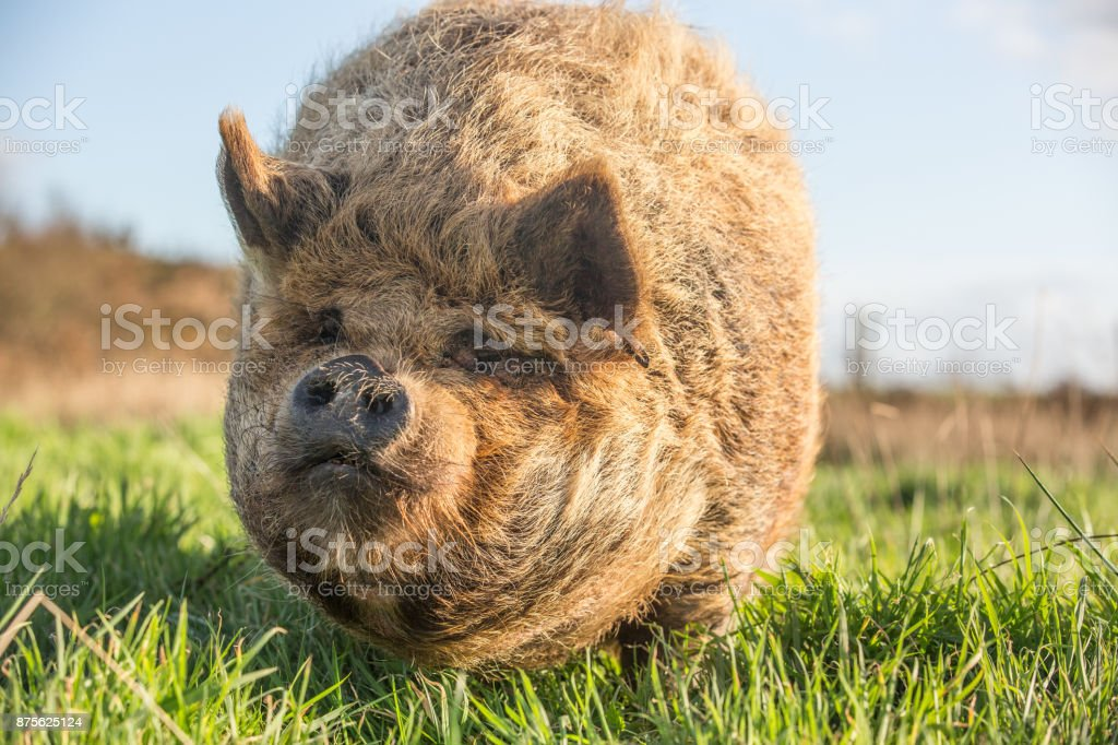 Kune Kune Pig hunting for food and grazing on grass stock photo