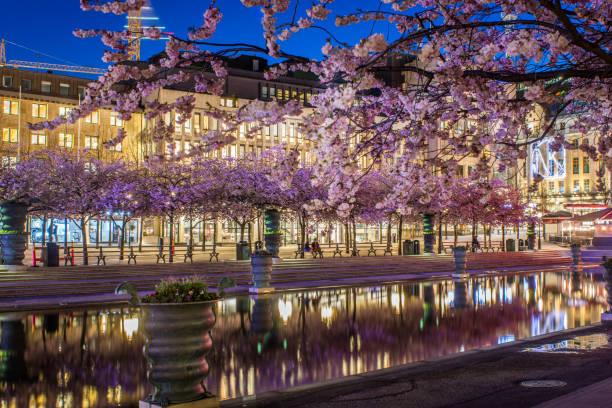 Kungsträdgårdens körsbärsträd blommar en ljummen sommarkväll - foto de stock